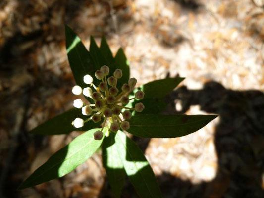 Milkweed--Asclepias tuberosa