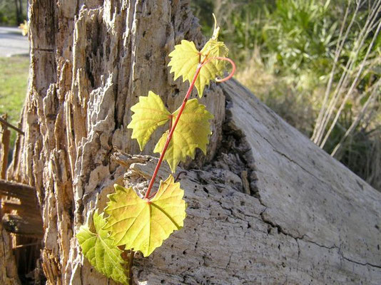 Fox Grape, Muscadine--Vitis munsoniana