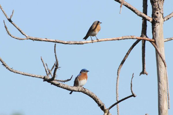 Florida Bluebirds. Copyright 2012 William E. Heyd.  All rights reserved.