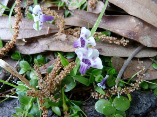 False Pimpernel, Angel's Tears--Lindernia grandiflora