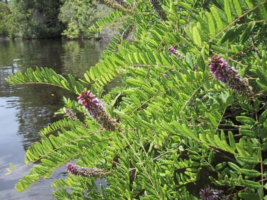 False indigo-Amorpha herbaceangue,