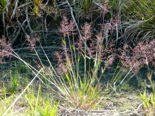 CYPRESS WITCHGRASS--Dichanthelium ensifolium