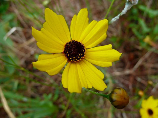 Tickseed, Leavenworth's-Coreopsis leavenworthii