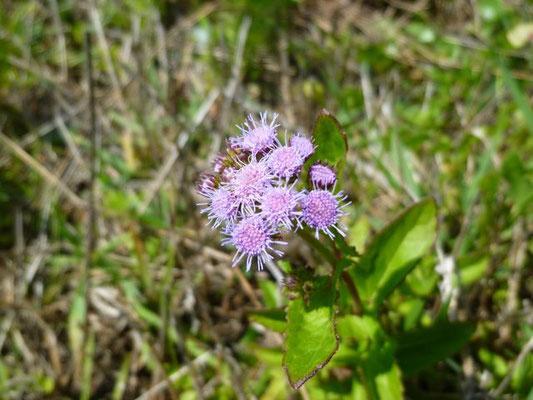 Blue Mist Flower--Eupatorium coelestinum