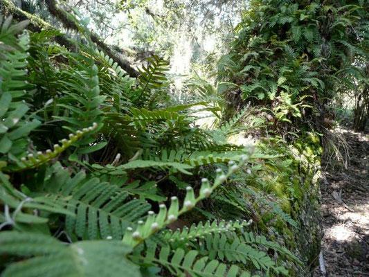 Resurrection fern--Pleopeltis polypodioides