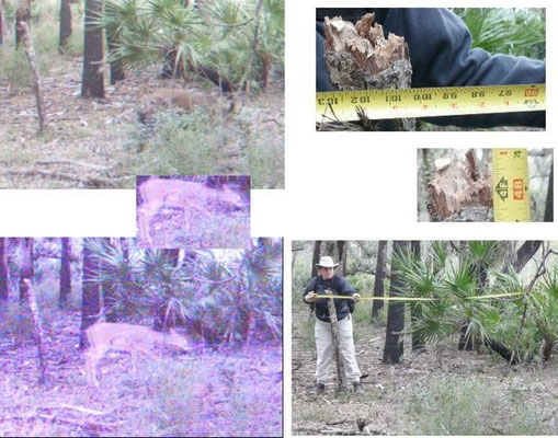 Measuring tape to provide relative size of panther in Carlton Reserve, Feb. 2010