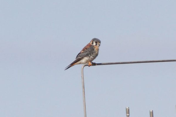 Kestrel (male). Copyright 2012 William E. Heyd.  All rights reserved.