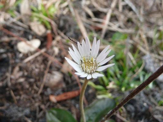 Pineland Daisy--Chaptalia tomentosa