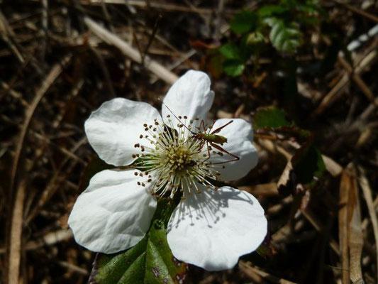 Blackberry--Rubus sp.