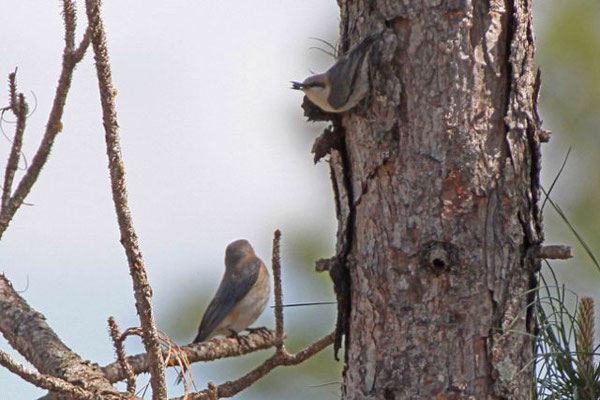 Bluebird and Brown-headed Nuthatch. Copyright 2012 William E. Heyd.  All rights reserved.