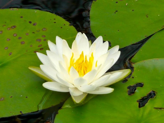 Water Lily, Nymphaea odorata
