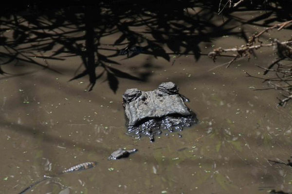 Hatchling and female alligator. Copyright 2012 William E. Heyd.  All rights reserved.