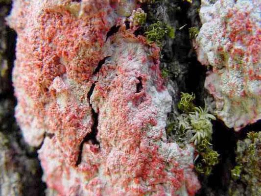 Christmas lichen--Cryptothecia rubrocincta