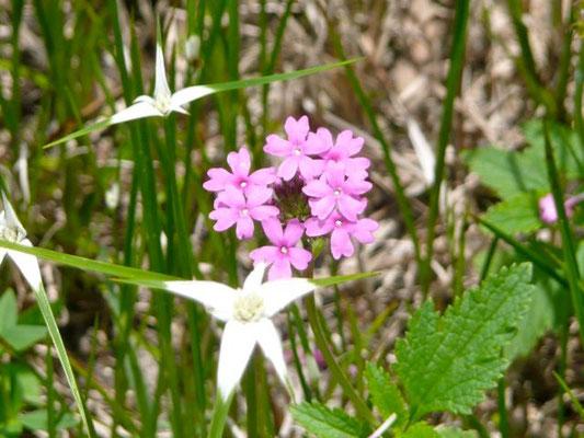 Verbena-Glandularia tampensis