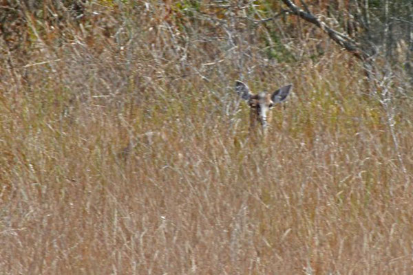Doe, white-tail deer. Copyright 2012 William E. Heyd.  All rights reserved.