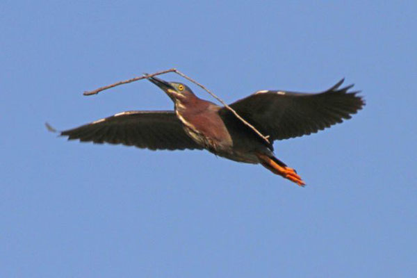 Green heron. Copyright 2012 William E. Heyd.  All rights reserved.