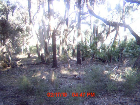Possible Panther in the Carlton Reserve Feb. 2010 (under palmetto, center right)