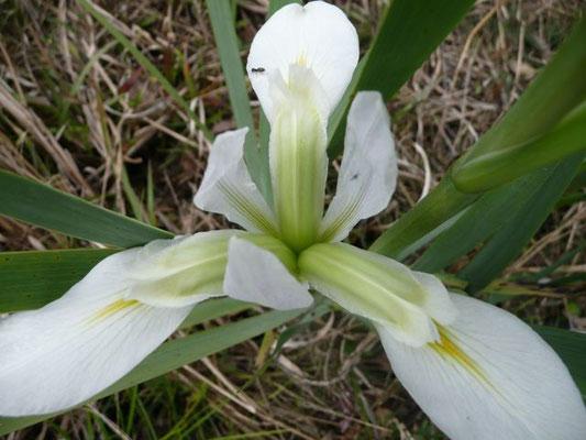 Iris, Southern Blue Flag (Iris virginica)