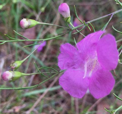 Flaxleaf False-foxglove - Agalinis linifolia (2)