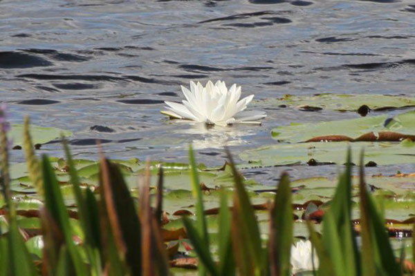 Water lily. Copyright 2012 William E. Heyd.  All rights reserved.