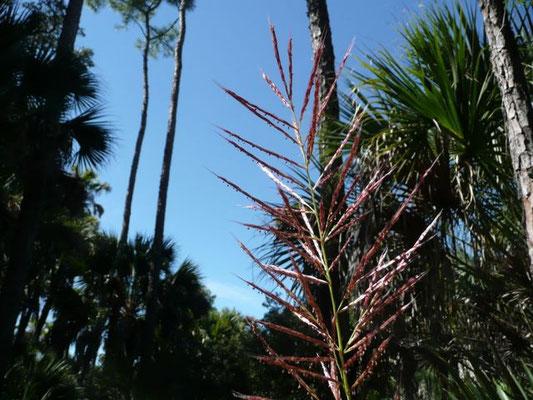 Sugarcane Plumegrass- Saccharum giganteum