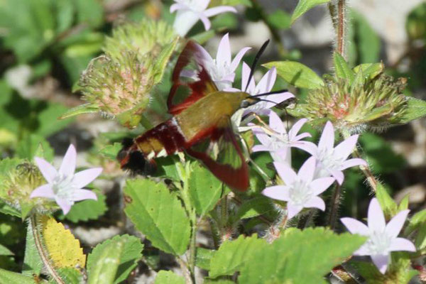 Hemaris thysbe, the Hummingbird Clearwing Moth. Copyright 2012 William E. Heyd.  All rights reserved.