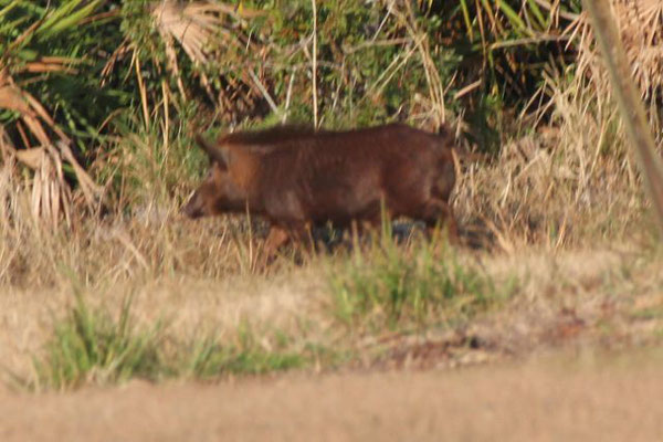 Feral Boarhog. Copyright 2012 William E. Heyd.  All rights reserved.