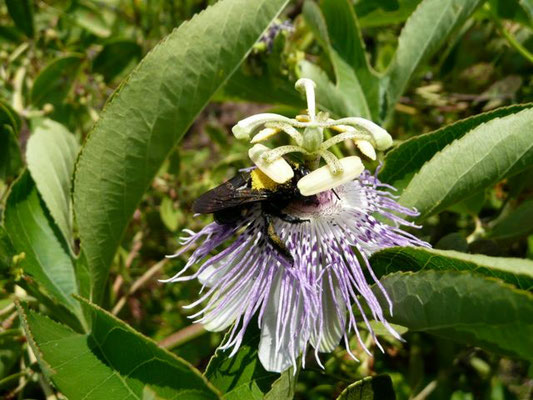 Purple PassionFlower--passiflora incarnata