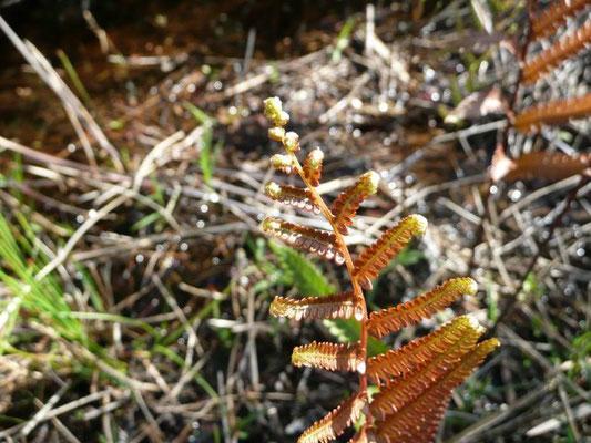 Leather Fern--Acrostichum danaeifolium