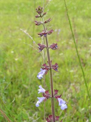 Lyre Leaf Sage--Salvia lyrata
