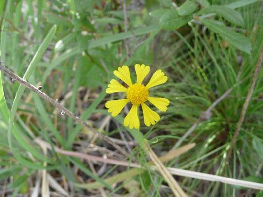 Sneezeweed, Spring Helenium-Helenium vernale