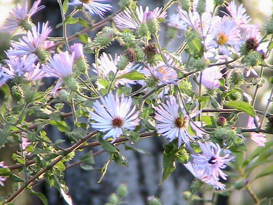 Climbing Aster--Symphyotrichum carolinianum