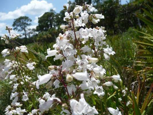 Beardtongue--Penstemon multiflorus