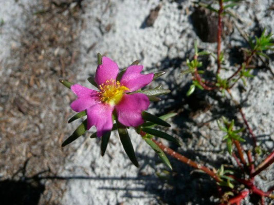 Moss-rose Purslane--Portulaca grandiflora
