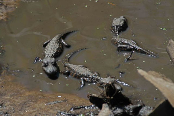 Alligator hatchlings. Copyright 2012 William E. Heyd.  All rights reserved.