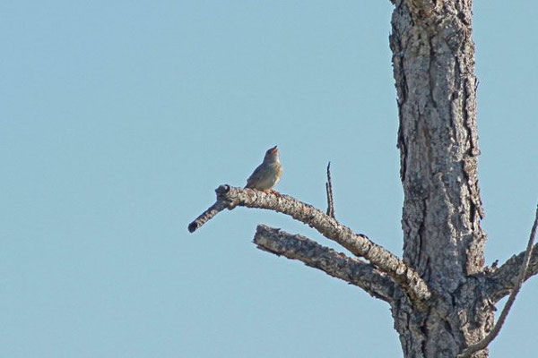 Bachman's Sparrow. Copyright 2012 William E. Heyd.  All rights reserved.