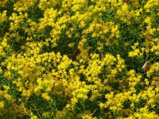 Goldenrod, Slender flattop-euthania caroliniana