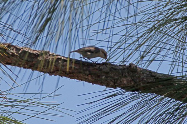 Brown-headed Nuthatch. Copyright 2012 William E. Heyd.  All rights reserved.