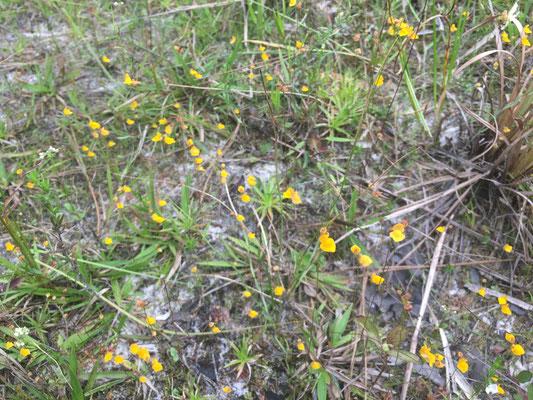Bladderwort, Zigzag (Utricularia subulata)