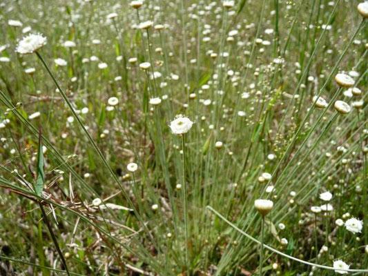 Hatpins--Syngonanthus flavidulus