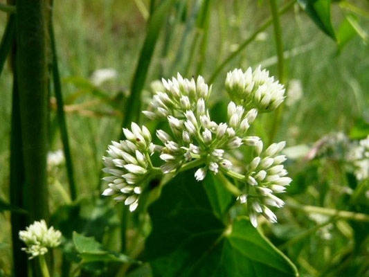 White Twinevine - Sarcostemma clausum