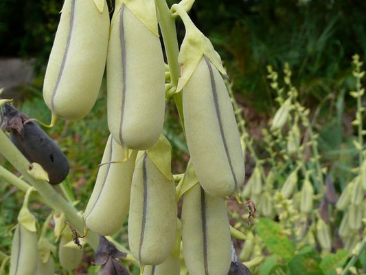 Rattlebox Showy, Crotalaria spectabilis