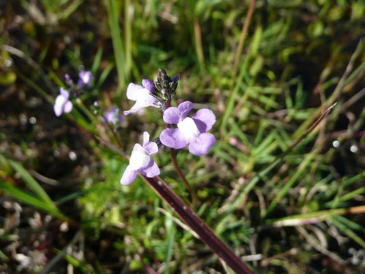 Canadian Toadflax--Linaria canadensis