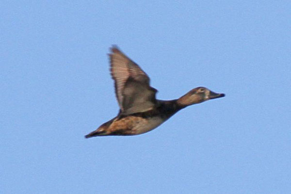 Ring-neck duck (female). Copyright 2012 William E. Heyd.  All rights reserved.