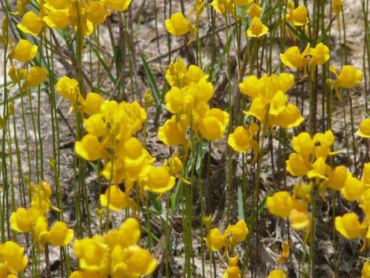 Bladderwort, Horned-Utricularia cornuta
