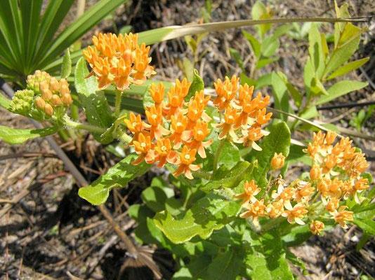 Milkweed, Swamp-asclepias perennis