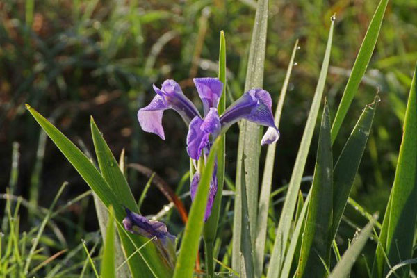 Flag Iris. Copyright 2012 William E. Heyd.  All rights reserved.