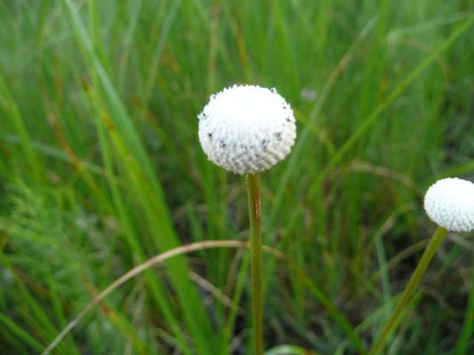 Pipewort, Tenangle--Eriocaulon decangulare