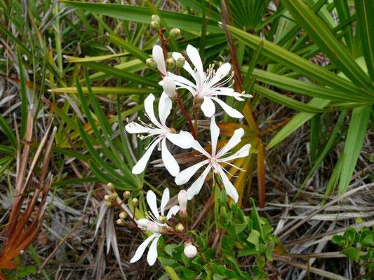 Tarflower--Bejaria racemosa