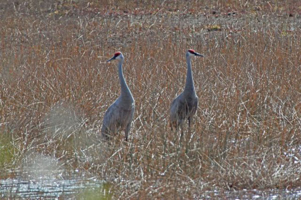 Sandhill Cranes. Copyright 2012 William E. Heyd.  All rights reserved.
